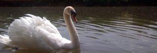 Swan_cherwell