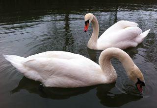 Swans_bath